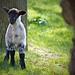 Lamb Shot (136/365)
