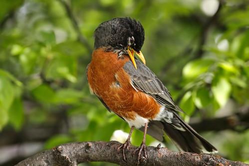 wild tree bird nature robin animal closeup fauna bill michigan wildlife ngc beak feather npc perch ornithology birdwatching americanrobin avian turdusmigratorius specanimal treeblossomproject