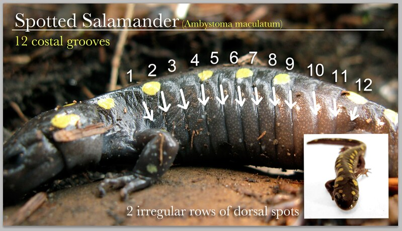 Spotted salamander identification diagram
