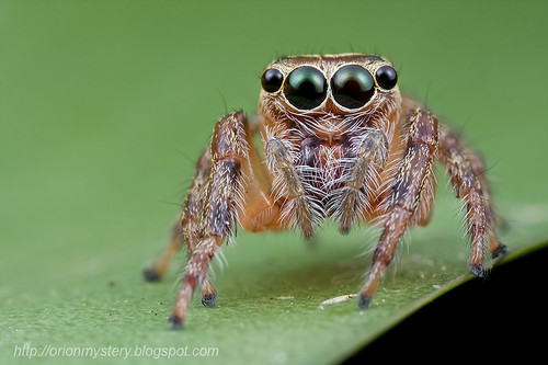 Cute jumping spider...IMG_3042 copy
