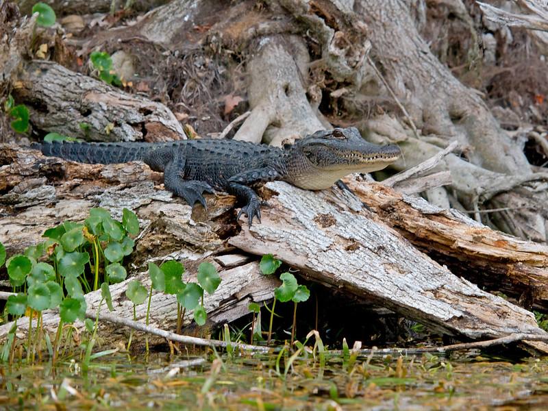 Alligator resting along Silver River