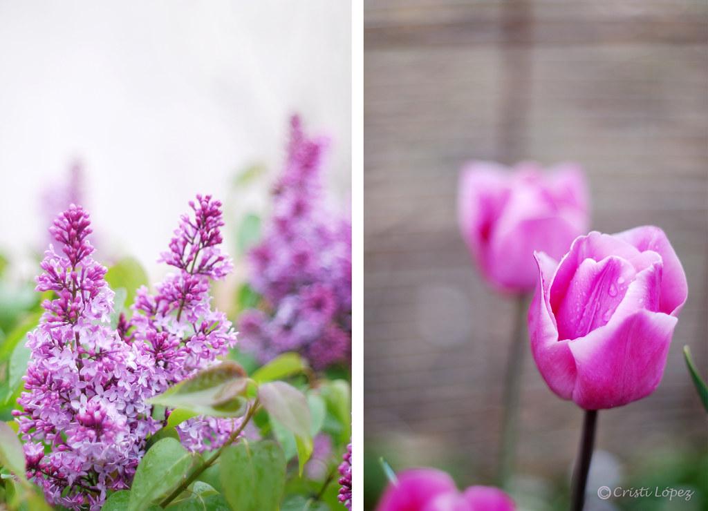 Lilas y tulipanes