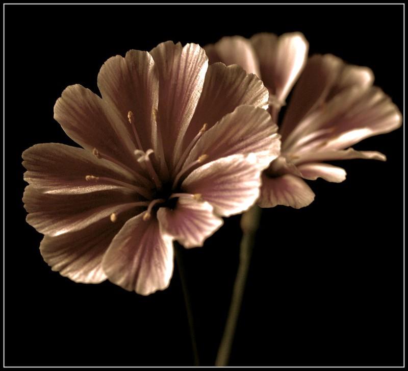 Lewisia ( Alpine flower)