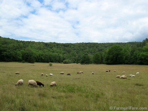 (4) Sheep grazing in the front field - FarmgirlFare.com