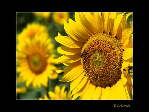 Girasoles # Sunflowers [Explore - Jun 24, 2012]