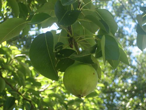 IMG_5103 Pear Tree 1