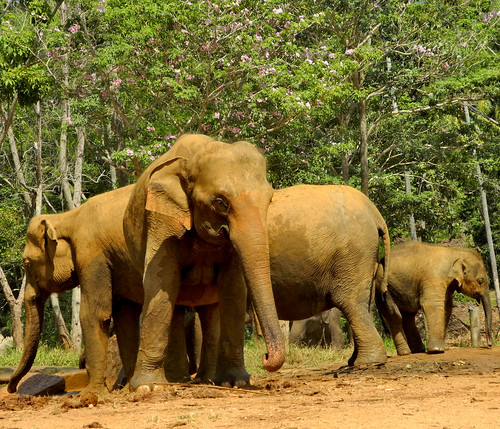 Elephants  -  Pinnawala (by Queenie)