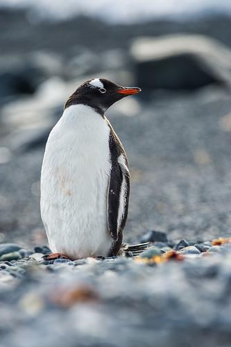 Gentoo Penguin Profile by Duane Miller