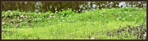 india nature forest flora july monsoon maharashtra wildflowers wildflower 2012 westernghats unidentified mahuli tansa unidentifiedwildflower wildflora indianature thanedistrict unidentifiedlily vashind snonymous monsoonflora westernghatsflora monsoonlily tansawildlifesanctuary monsoon2012