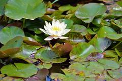 DSC_3367 Nymphaea Mandarin