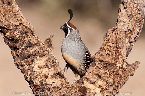 Gamble's Quail - Male by Dan W Conway