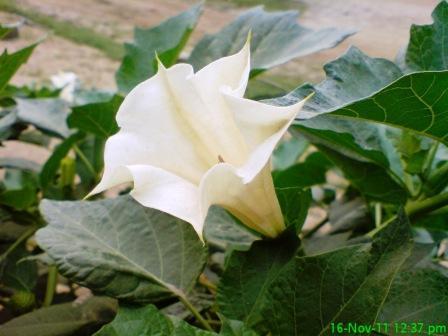 Dhutura