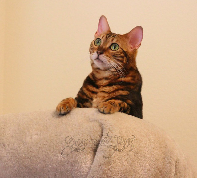 Koa the Bengal