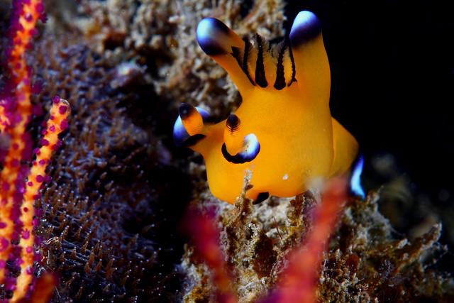 Thecacera pacifica 太平洋多角海蛞蝓