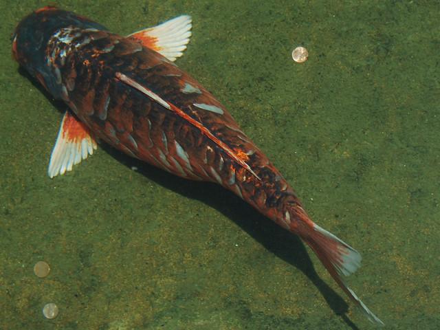 Koi pond definition meaning for Koi fish farm near me