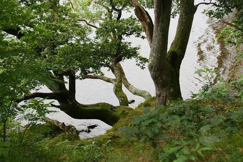 Tree at Derwentwater