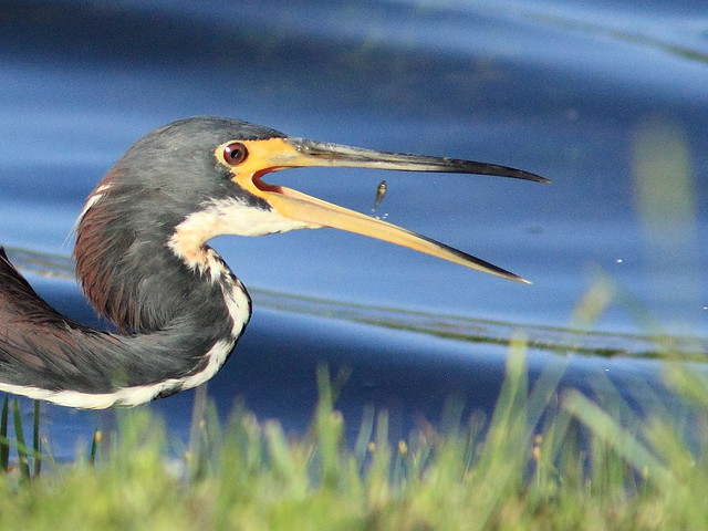 Tricolored Heron with tiny fish 20120808