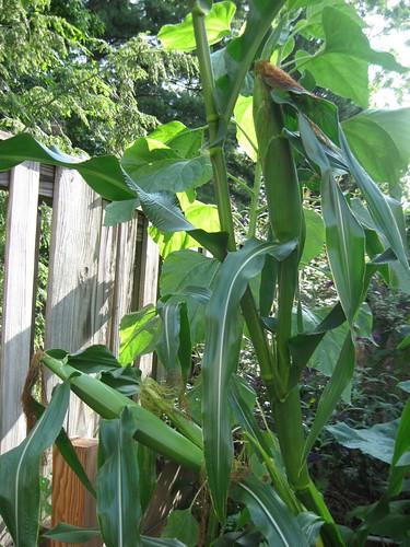 corn 8-12