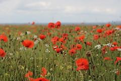 Poppies_4215