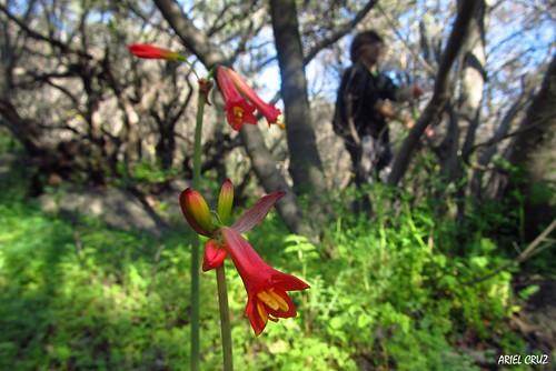 Añañuca de fuego (Phycella ignea) | Bosque El Panul
