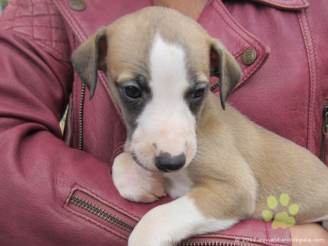 Encuentros Whippet