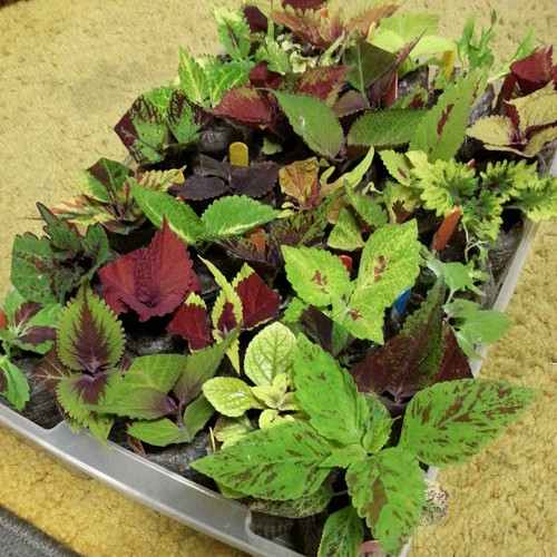 Coleus Cuttings (Batch 1)
