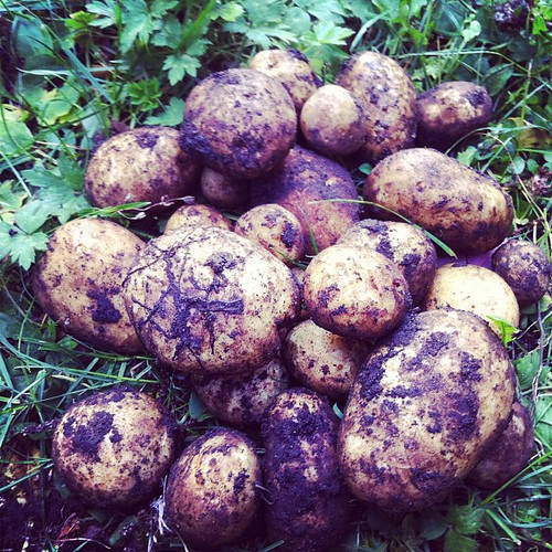 I thought all my potatoes failed. I was wrong.