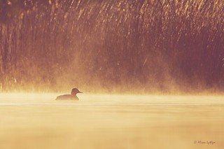 Pochard in the Mist