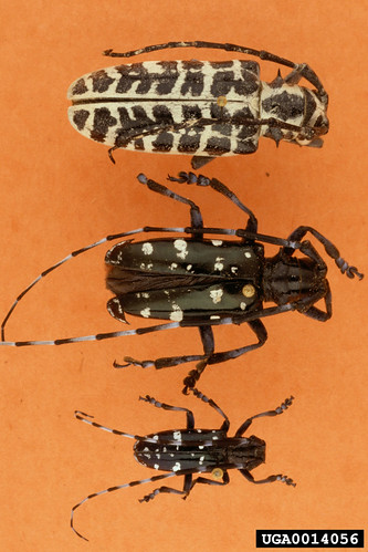 Picture of three Asian LongHorned Beetles