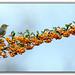Silvereye on berries by tassie303