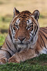 Bakkar the Bengal Tiger