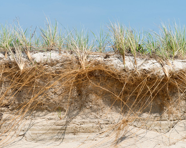 Header of American Beachgrass