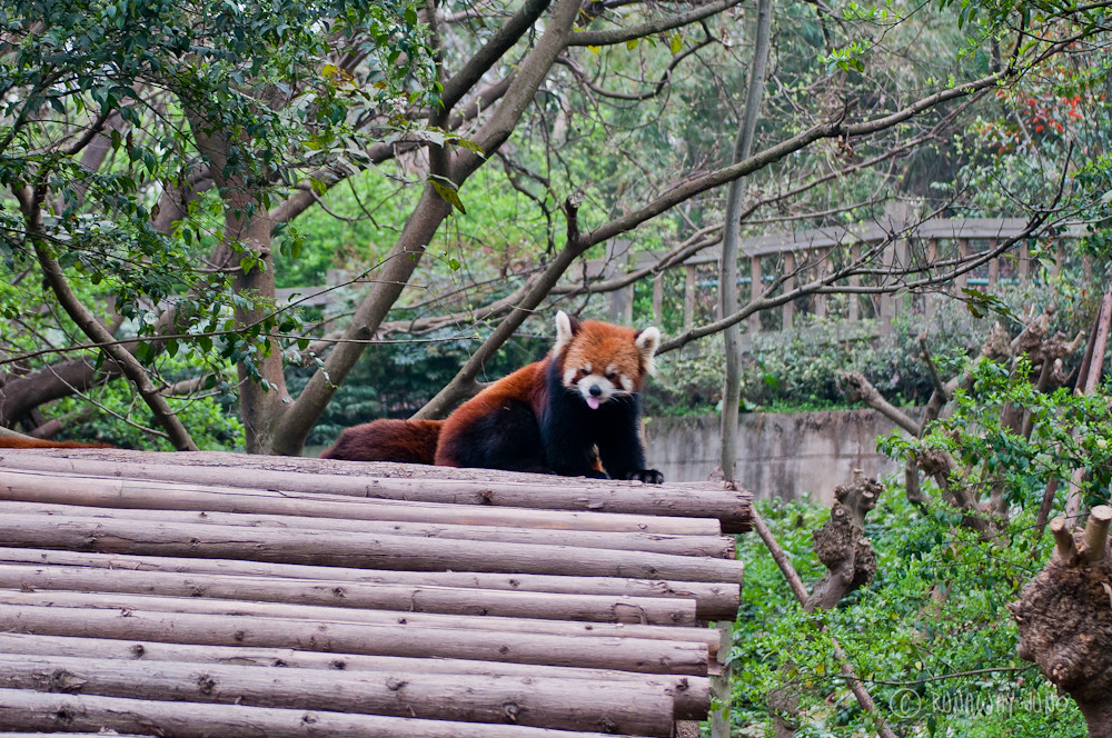 Red_Panda_hangout_Chengdu_Sichuan_China