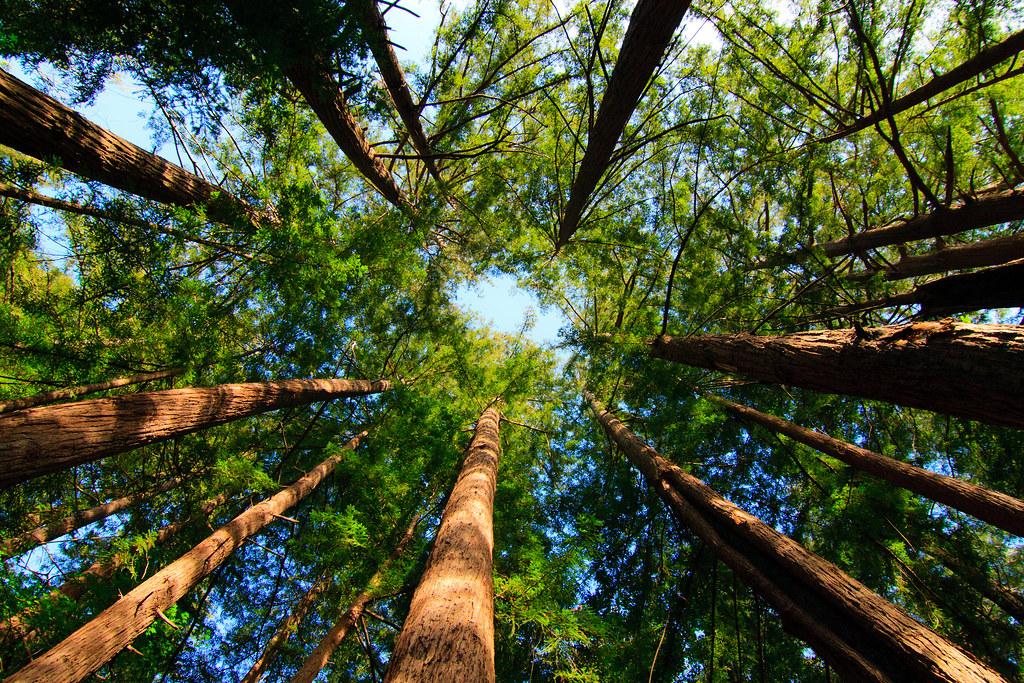 Redwoods in Big Sur, CA