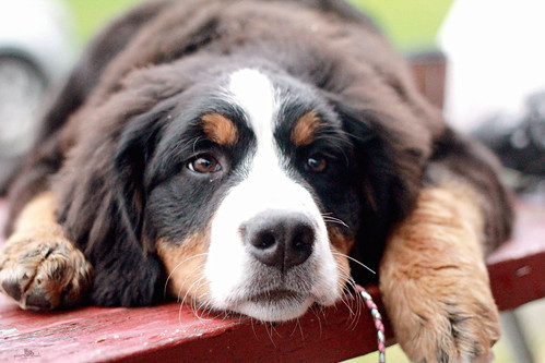 Berner on a Picnic Table