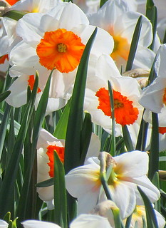Bright Orange Daffodils!
