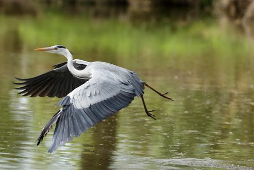 [フリー画像素材] 動物 2, 鳥類, サギ, アオサギ, 鳥類 - 飛ぶ ID:201204160400