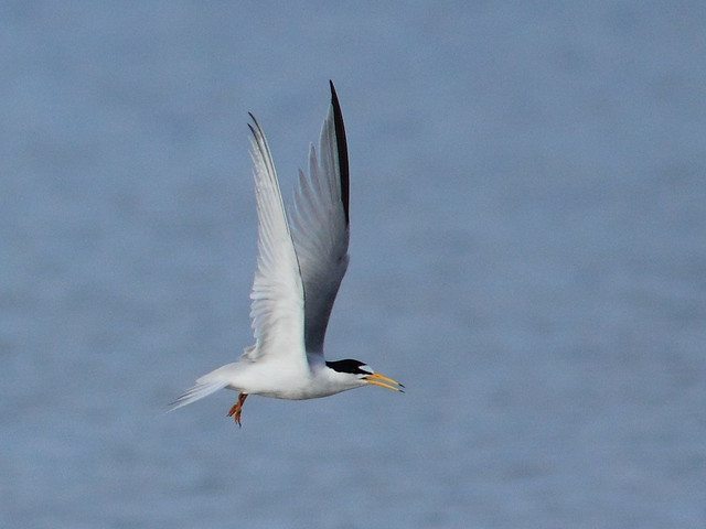 Least Tern in flight 20120411