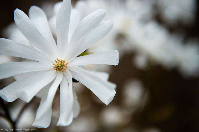 Royal Star Magnolia (3 of 3)