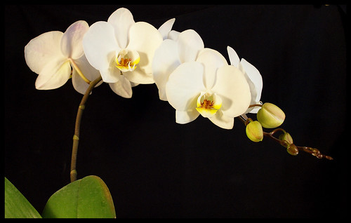 Orchid Again