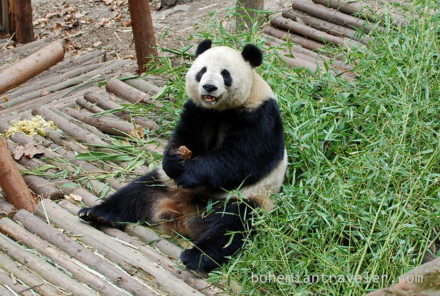Pandas in Chengdu China