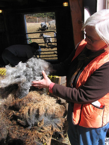 "Shearing time at Cider Hill Farm in North Haven Island.  This photo will be featured in the online Maine Fiber Resource Guide.  Photo courtesy of Maine Fiberarts,  Topsham, Maine, <a href=""http://www.mainefiberarts.org"" rel=""nofollow"">www.mainefiberarts.org</a>"