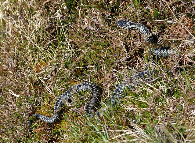 26994 - Adder, Isle of Mull