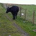 Small photo of Aberdeen Angus cow