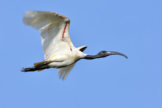 BLACK HEADED (WHITE) IBIS