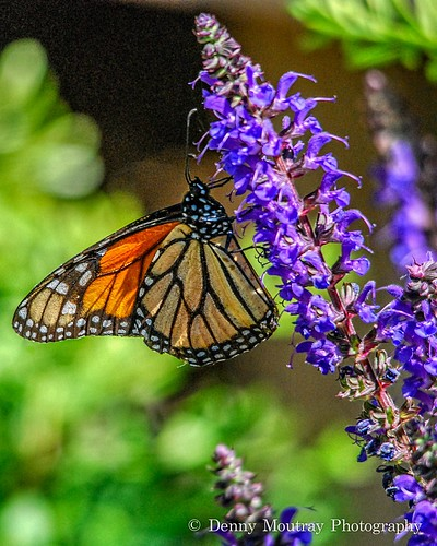 A Monarch Moment by DMoutray - Denny Moutray Photography
