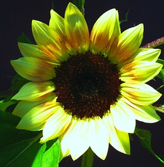 Yellow Sunflower Pretty Perfect