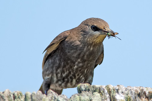 Juvenile European Starling Eating A Monster