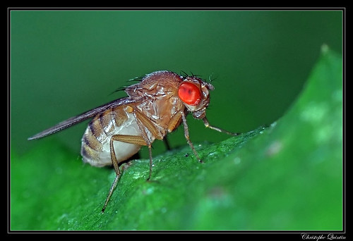 Drosophila immigrans