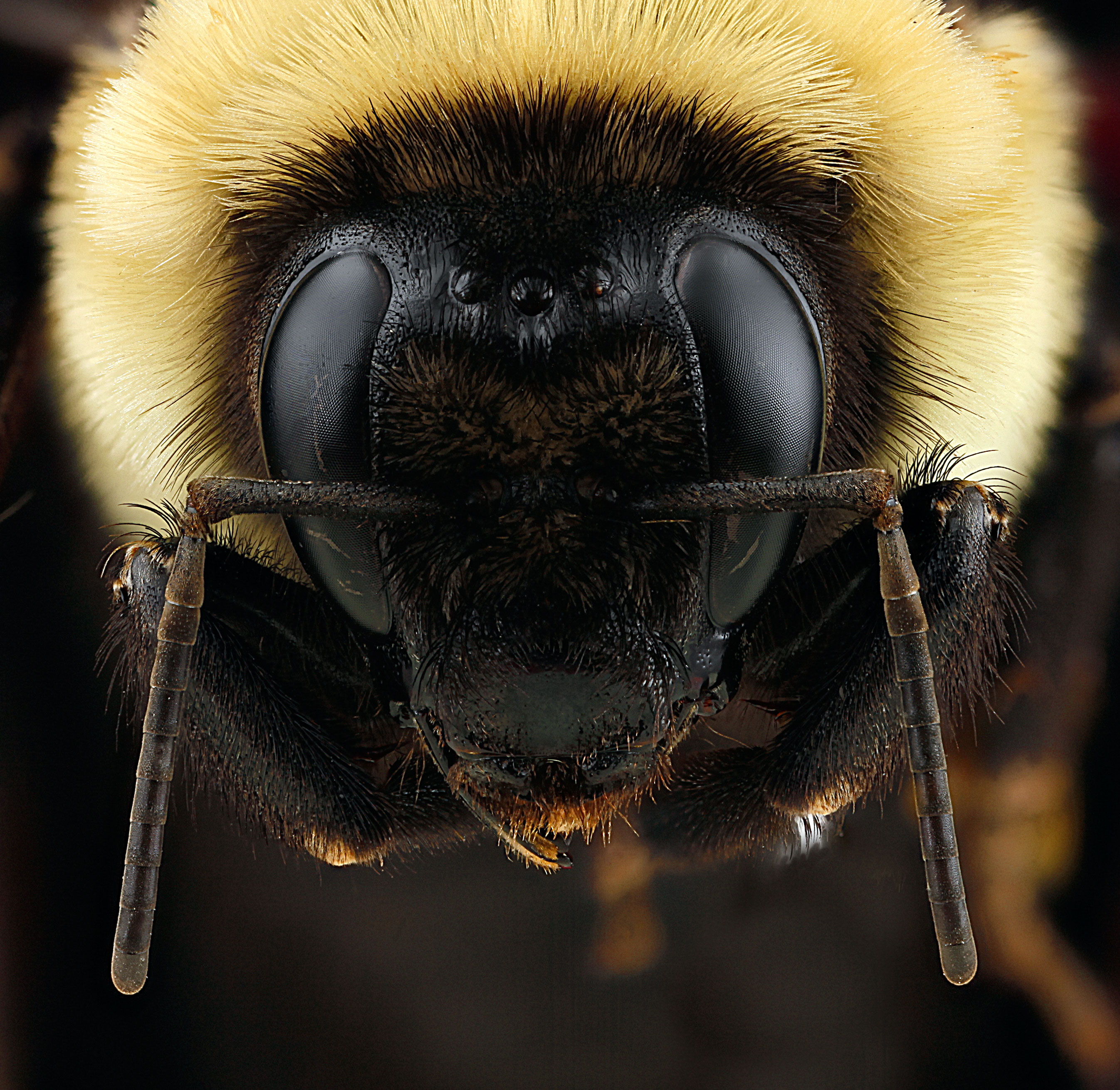 Bombus griseocollis, Queen, South Dakota, USA, Badlands